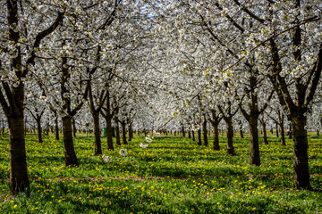 A beautiful meadow full of blossom cherry trees in Markgräferland