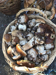 Mushroom season. Large and small white mushrooms are collected in the forest and stacked in baskets and other dishes. View over.