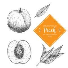 Peach vector illustration. Hand-drawn design element. A fruit drawn in vintage style