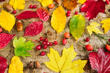 fall, background, nature concept. coral berries of rowantree and dogtree among the colourful leaves that are shining and burning like fire of red and yellow coloures