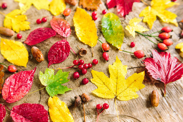 environment, autumn, decoration concept. bloody red rowanberries and healthy rosehip berries placed among bright red and sunny yellow leaves of maples and poplars