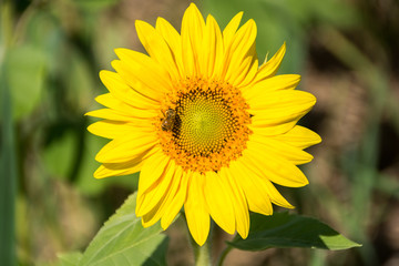 Sunflower-5/A small bumblebee on a beautiful yellow sunflower.