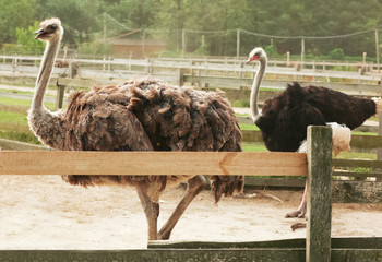 Grown ostriches in paddock on farm