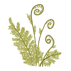 Wall Mural - Green growing fern botanical vector illustration on white background.