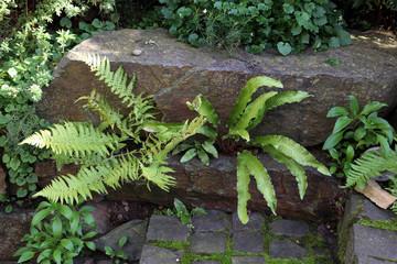 Hirschzungenfarn (Asplenium scolopendrium),  Hirschzunge