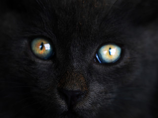 Black cat with colorful orange and blue eyes. Portrait of a witch cat. Halloween. Folklore, superstition and mythology. Black cats in the middle ages were believed to be witches' familiars