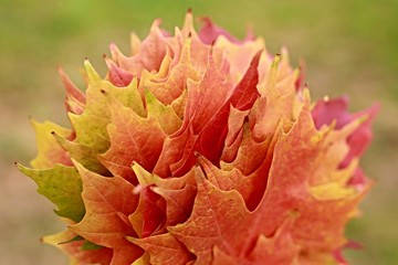 Bunch of colorful sugar maple leaves