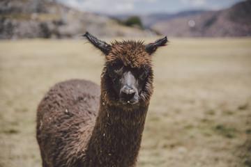 Llamas of Peru