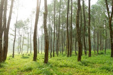 Rubber tree forest so beautiful landscape with sun ray of shine