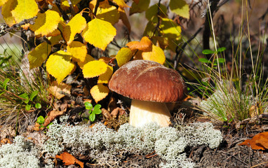 Mushroom on the background of birches.