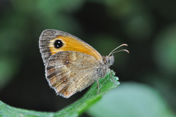 Gatekeeper butterfly in nature. Pyronia tithonus or gatekeeper butterfly on leaf in bush