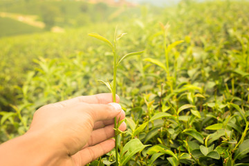 Green tea bud and fresh leaves. Tea plantations in Chiangrai province, the north of Thailand.