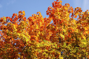 Maple tree with leaves of red and yellow colours on a sunny day