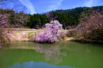 鏡桜(喜多方市)