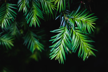 Close-up of pine tree leaves on black background