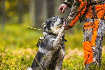 Foto op Aluminium Jacht Swedish Moosehound in the fall hunting season