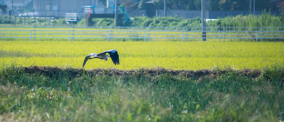 Grey heron in flight above paddy field (japan)