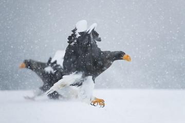 Riesenseeadler im Schneetreiben
