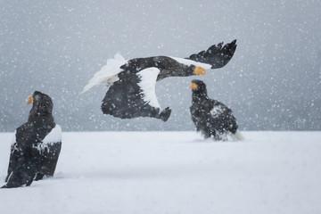 Riesenseeadler fliegt im Schneetreiben