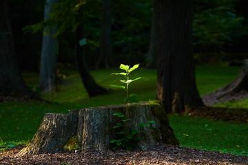 切り株と幼木