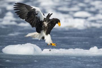 Riesenseeadler landet auf dem Eis