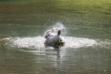 Wild goose splashing in the lake on a warm autumn day