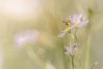 fly on white flower macro