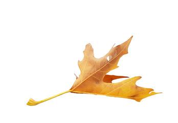 leaf falling isolated autumn background