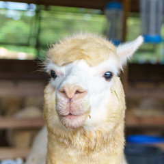 close up of white and brown alpaca looking straight. selective focus.