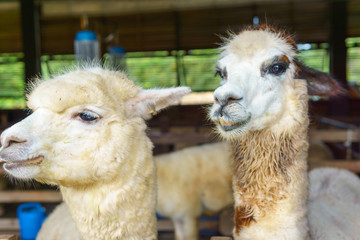 close up of two white and brown alpaca in corral or fence