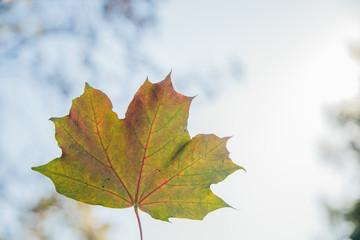 Canadian maple in autumn park