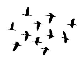 Glossy ibis (Plegadis falcinellus) flock in flight. Vector silhouette of birds