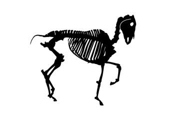 Horse skeleton on white bachground