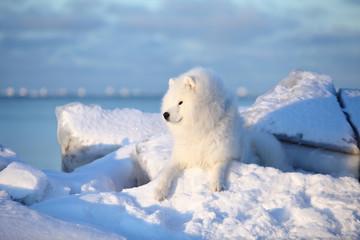 White fluffy dog,Samoyed sits on the snow