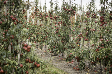 Red apples on the branches