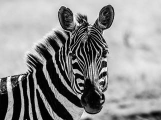 Aluminium Prints Zebra b&w zebra