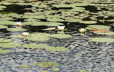 Wall Murals Water lilies White water lilies on the surface of the lake