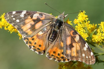 Fotoväggar - Painted Lady Butterfly (Vanessa cardui)