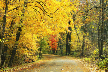 Autumn forest nature background. Fall landscape with a road in a forest with bright yellow trees. Midwest USA, Wisconsin.