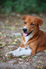 Portrait of an adorable brown dog outdoor.