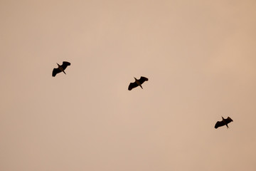 silhouette flying birds with sunset sky