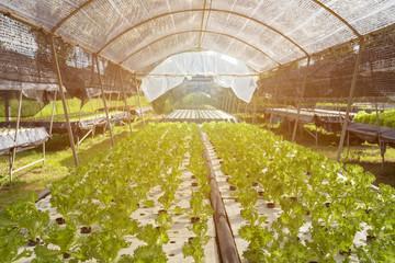 Hydroponics vegetables salad in hydroponics farm