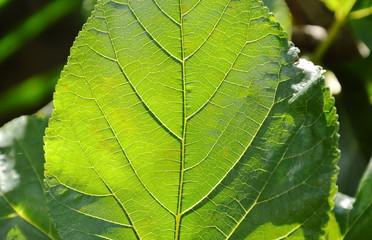 mulberry leaf on morning sunlight in garden
