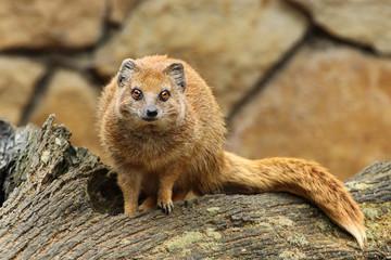 mangusta fox