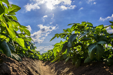 Green potato field on farmland, low angle view with sunlight