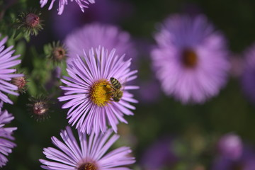 Biene auf lila Blume