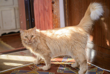 A big ginger cat in a village house