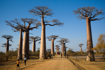 Aluminium Prints Baobab baobab Madagascar