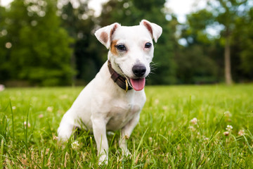 Toung jack russell terrier