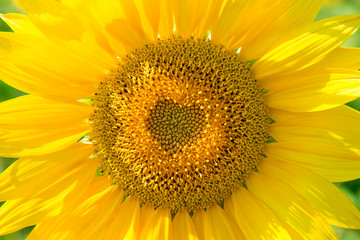 beautiful yellow sunflower in field, close-up, the core is in the shape of a heart